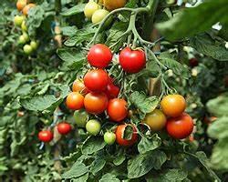 Tomaten Balkon Kübel : tomaten in k bel pflanzen tomatenpflanzen im k bel ~ Yasmunasinghe.com Haus und Dekorationen