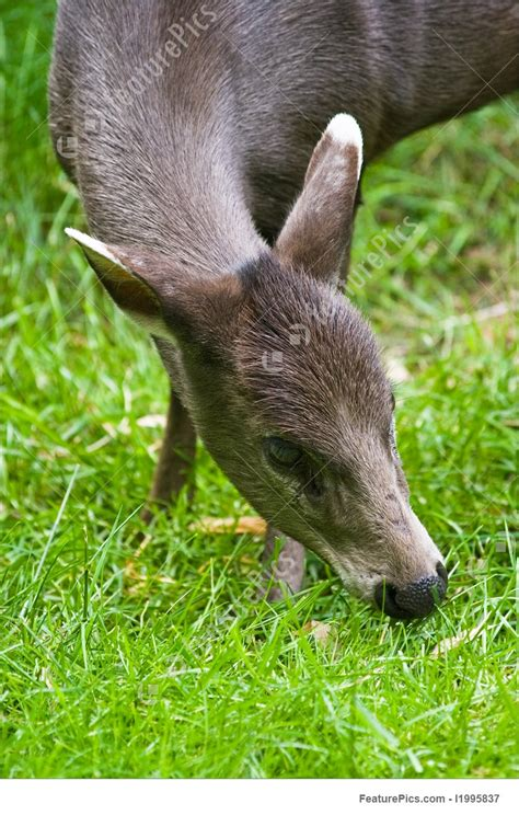 picture  tufted deer eating