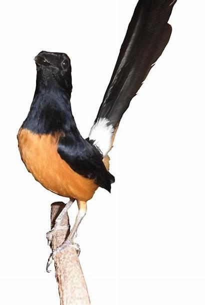 Gambar Burung Kartun Animasi Murai Batu Menakjubkan