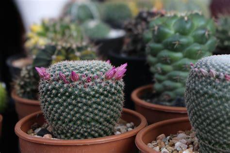 กระบองเพชร แคคตัส (Cactaceae) | ดอกไม้