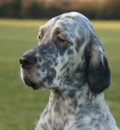 setter breed information puppies pictures