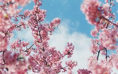 Cherry Blossom 4k Plant Wallpapers Macbook Pro