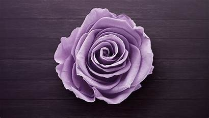 Purple Rose Flowers Background Wallpapers Resolution 1440p
