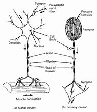 Best 25 ideas about nerve diagram find what youll love sensory nerve cell diagram ccuart Image collections