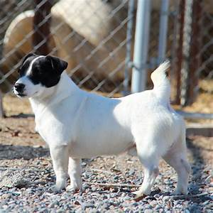 Black And White Jack Russell Terrier Pictures to Pin on ...