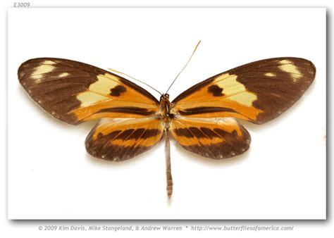 Mechanitis lysimnia macrinus ♂ PANAMA: Cerro Jefe, 1600 ...