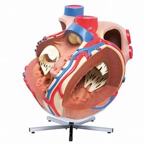 Anatomical Heart Model - Anatomy of the Heart - Giant ...