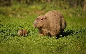 Tiny Capybara Explores with Mum at Chester Zoo - ZooBorns