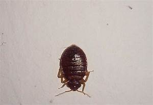 bedbugs archives what39s that bug With bed bugs arizona