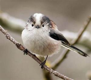 Long-tailed Tits Look Like Pleasantly Plump Little Bird