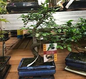Bonsai Chinesische Ulme : pflegeanleitung f r die chinesische ulme ulmus pavifolia bonsai kaufen ~ Frokenaadalensverden.com Haus und Dekorationen