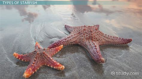 starfish types characteristics anatomy video