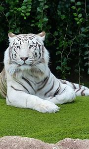 White Bengal Tiger Rest - Free photo on Pixabay