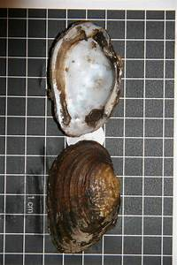 Researchers discover freshwater mussel species thought to ...