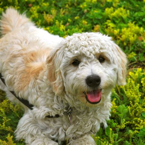 big non hypoallergenic dogs pictures hypoallergenic dogs breeds picture