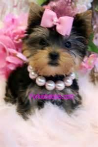 Teacup Yorkie Puppy Sale