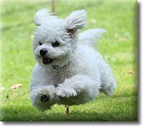 allergiefreie bichon frise welpen hunde