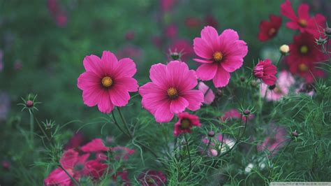 Download Small Pink Flowers 2 Wallpaper 1920x1080