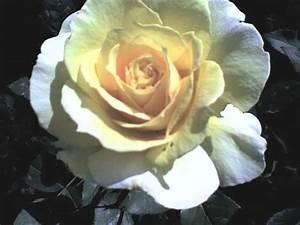 Gelbe Rose Bedeutung : blumensprache gelbe rose gedicht pfeffel ~ Whattoseeinmadrid.com Haus und Dekorationen