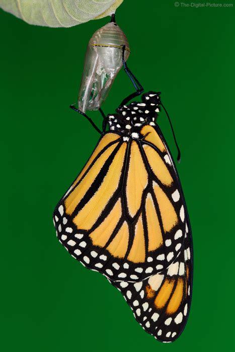 metamorphosized monarch butterfly