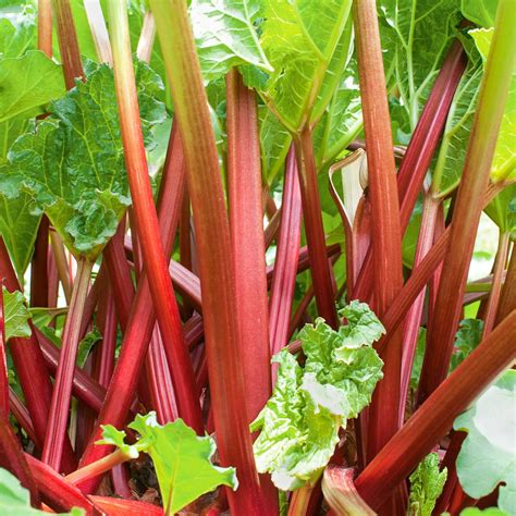 Garten Rhabarber Pflanzen by Ein Blick In Omas Garten Plant Happy 174