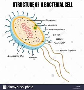 Structure Of A Bacterial Cell Stock Vector Art