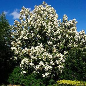Magnolia Grandiflora - Clarenbridge Garden Centre