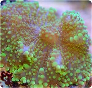 Ricordea Yuma Neon Green Coral Anemone Ricordea yuma