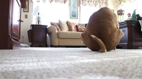 My Dog Morrison Scooting On The Carpet Like 7 Times! [butt Drag] Carpet Cleaning Company Northern Beaches Best Homemade Cleaner Solutions Crescent City Ca How To Get Old Candle Wax Stain Out Of Remove Dry Red Wine Stains From Clean Hair Off Bowling Green Kentucky