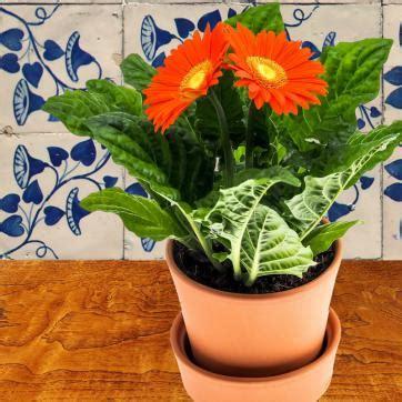 gerbera en pot entretien 28 images gerbera artificiel tendre en pot h 30 cm 6 fleurs