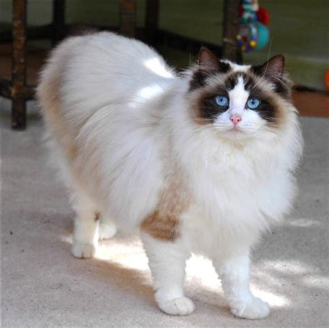Ragdoll Cat Breed  Cat Pictures & Information