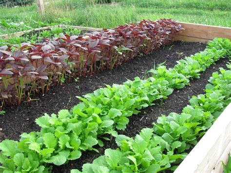 stock photo vegetable garden rows  fresh lettuce plants