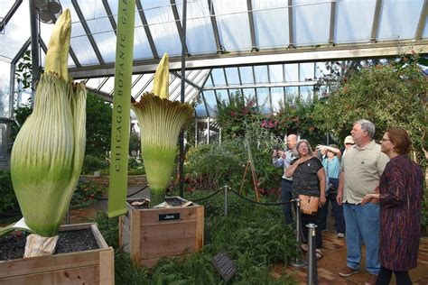 java the corpse flower blooms stinks at chicago botanic