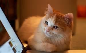 cat laptop cat looking at laptop wallpaper 21810