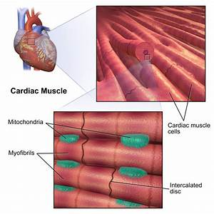 The Heart | Boundless Anatomy and Physiology