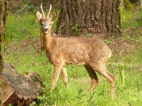 western roe deer wiktionary