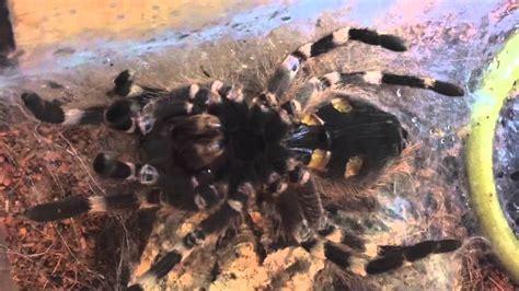 tarantula shedding skin time lapse tarantula molting time lapse