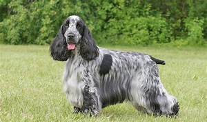 English Cocker Spaniel Dog - Doglers