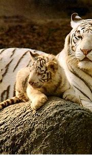 Zoo Chromes