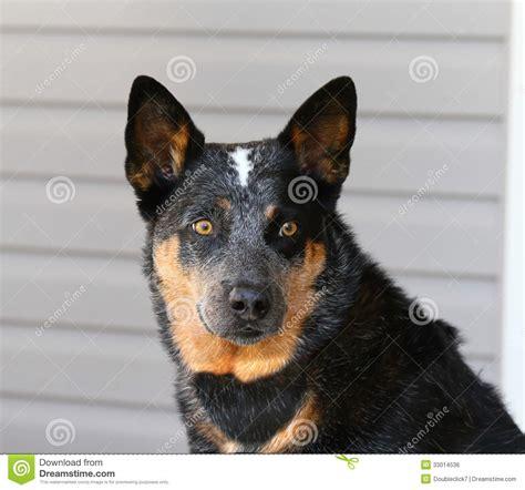 blue heeler dog head stock photo image  black canine