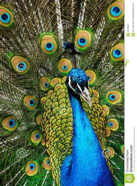 male peacock stock image image  yellow phasianidae