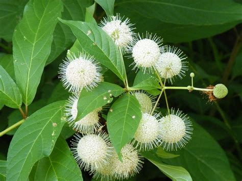 honey oak common buttonbush button willow honey bells trees for