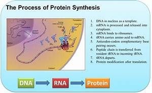 Protein Synthesis  Kate Monheim  - Lessons