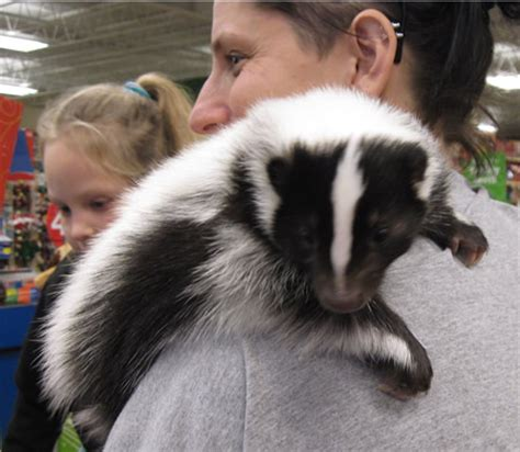 skunks as pets pet skunk