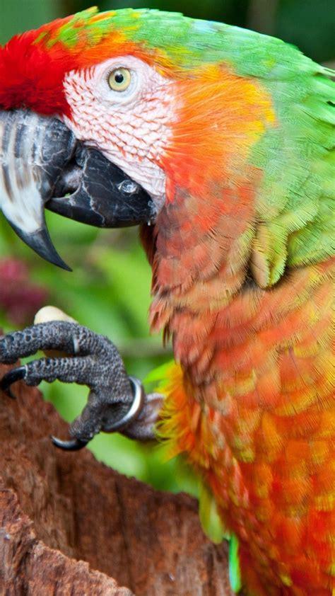 wallpaper parrot blue red green orange animals
