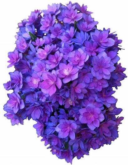 Transparent Purple Flowers Flower Hydrangea Violet Background