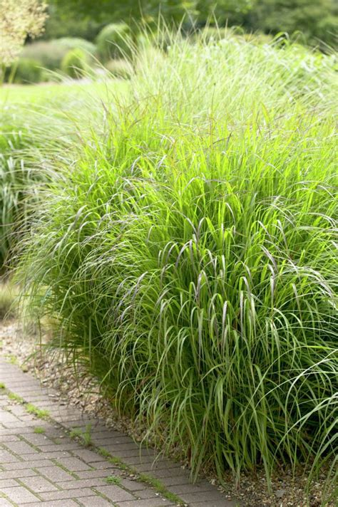 what ornamental grasses are perennials 200 best images about ornamental grasses on pinterest best seasons warm and drought tolerant