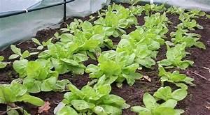 Portulak Pflanzen Kaufen : wintersalat anbauen winterkopfsalat sorten und ~ Michelbontemps.com Haus und Dekorationen