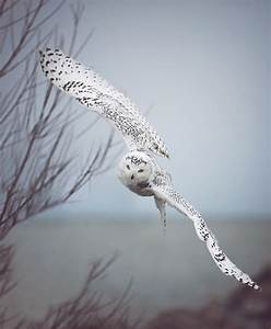Snowy Owl In Flight Photograph by Carrie Ann Grippo-Pike
