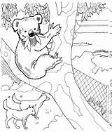 Koala Coloring Pages Animals Wildlife Bear Print Animal Australian Zoo sketch template